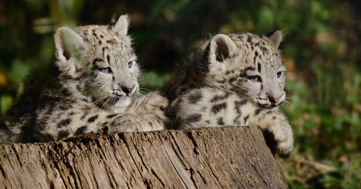 Zoo Salzburg: Namen für Schneeleoparden-Babys stehen fest - SALZBURG24