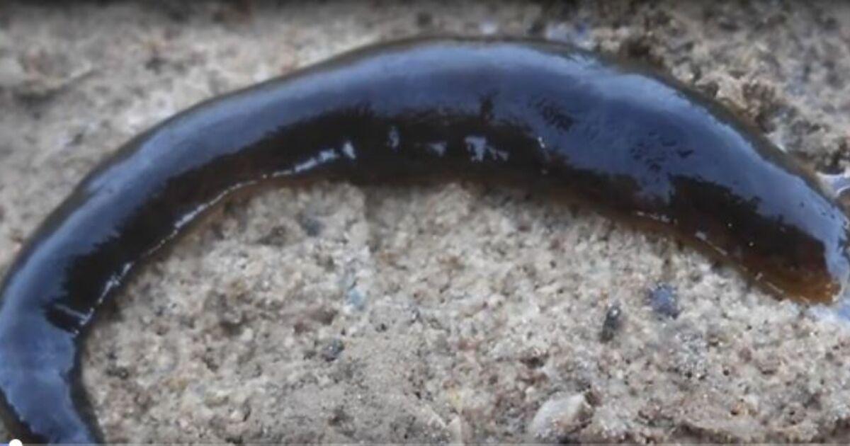 Fleischfressender Wurm