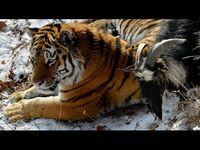 Ziege partnerschaft tiger Chinesisches Partnerhoroskop